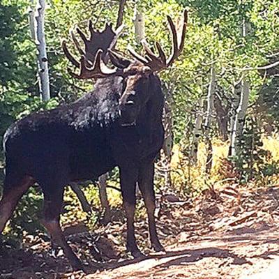 JD-Timber Block moose wildlife